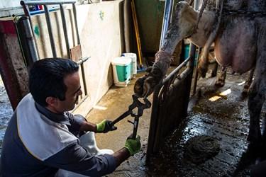 تمیز کردن پاهای دام با ابزار مخصوص توسط افراد متخصص در شرکت دامداری تلیسه نمونه