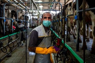 شیر دوشی دام ها توسط افراد متخصص در شرکت دامداری تلیسه نمونه