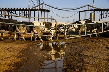 انتقال دام ها و  ضد عفونی کردن آنها برای شیردوشی در شرکت دامداری تلیسه نمونه