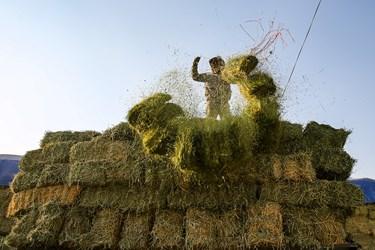 آماده سازی علوفه و خوراک برای دام ها توسط کارگران در شرکت دامداری تلیسه نمونه