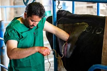 انجام عمل جراحی توسط دامپزشک بر روی دام جهت برطرف نمودن مشکل گوارشی در شرکت دامداری تلیسه نمونه