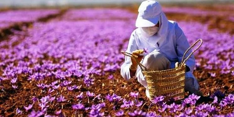 پرداخت 676 میلیارد تومان غرامت به کشاورزان آذربایجانشرقی/ زعفران تحت پوشش بیمه محصولات کشاورزی قرار گرفت