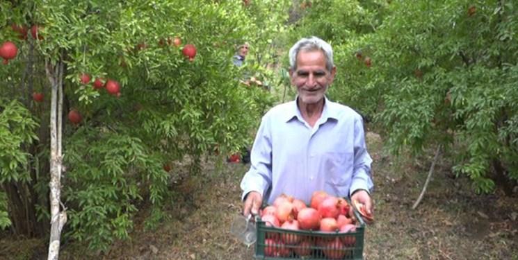 برداشت یاقوتهای بهشتی از باغات نمهیل خلخال/ شکرانه برداشت خوشههای سرخ انار