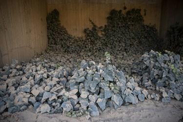 گرد و غبار ناشی از تولید سیمان بر روی گیاهان در کارخانه سیمان تهران