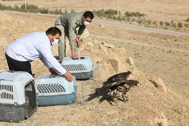 رها سازی پرندگان شکاری در طبیعت قم