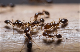 Ants Use Collective 'Brainpower' to Navigate