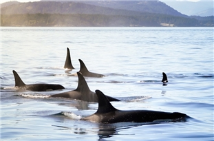 Killer Whale Grandmas Boost Survival of Calves