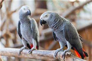 African Grey Parrots 'Lend a Wing'