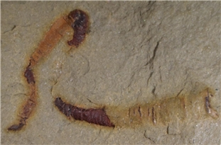 Oldest-Known Fossilized Digestive Tract