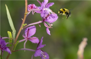 Bumble Bees: Recognition Across Senses