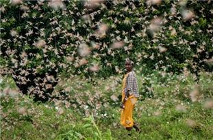 Expanding Locust Swarms Threaten Food Security Across East Africa