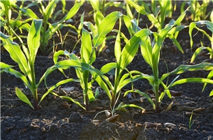 Some Plants Ignore Beneficial Soil Microbes