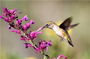 Hummingbirds See Many More Colors Than Humans