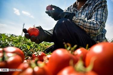 Iran: Tomato Harvest in Zanjan