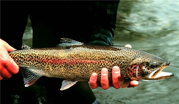 Iran First Trout Producer in World