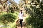 Harvesting Dates in Shadegan, Khouzestan